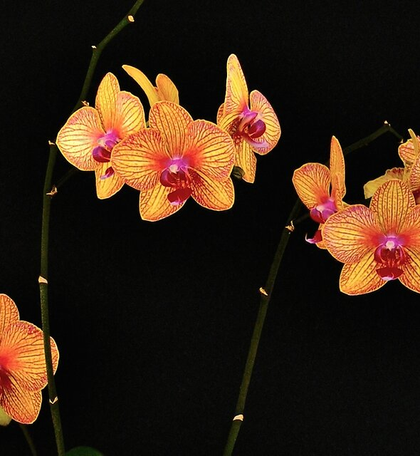 MOTH ORCHID by Thomas Barker-Detwiler