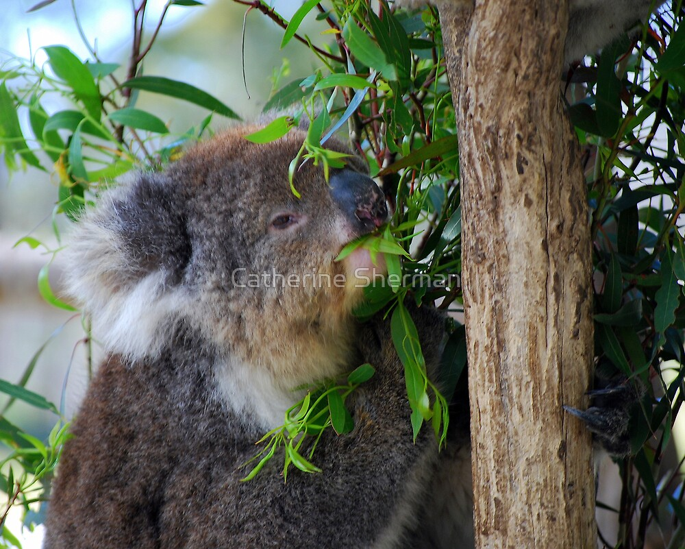 Koala, Tasmania, Australia. by Catherine Sherman