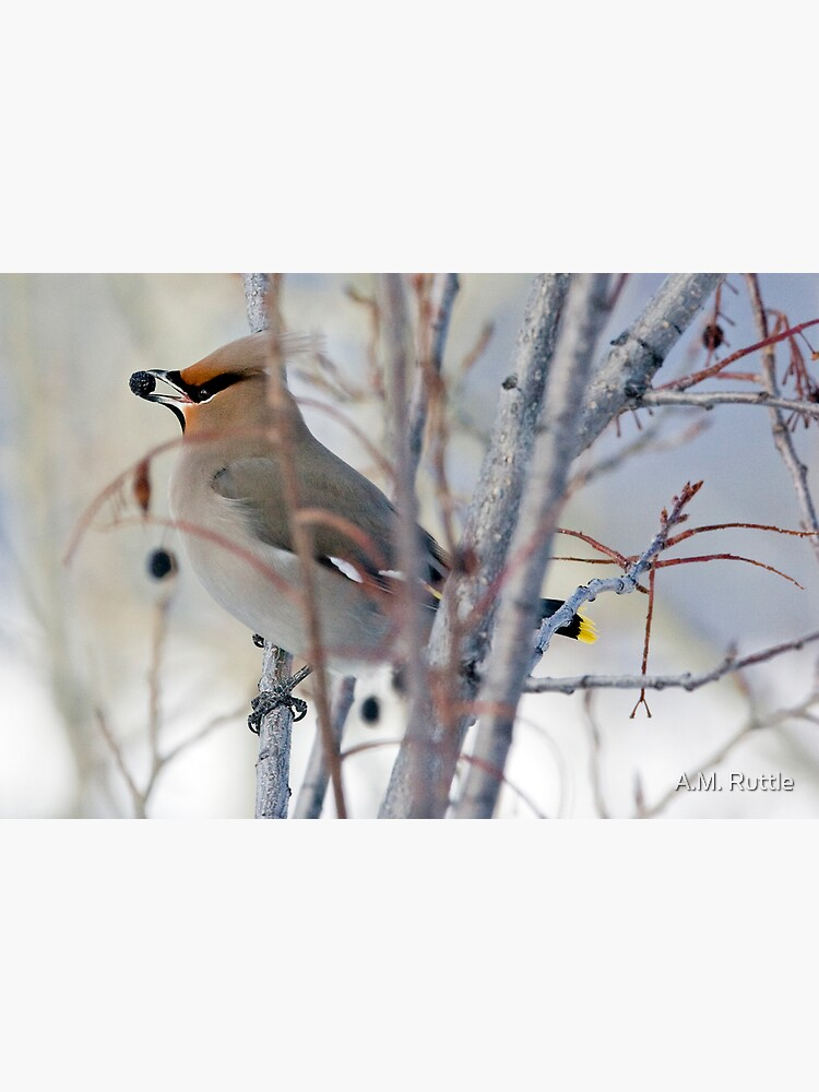 Waxwing and Late Season Berries by annruttle