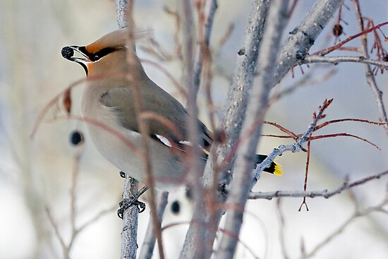 Waxwing and Late Season Berries by A.M. Ruttle