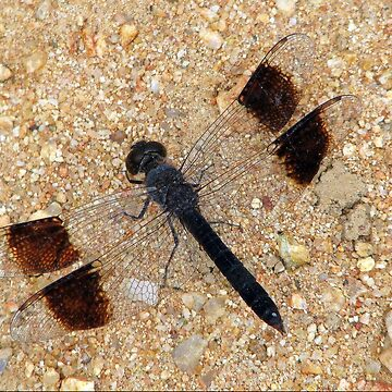 Banded Groundling Dragonfly by Happyart