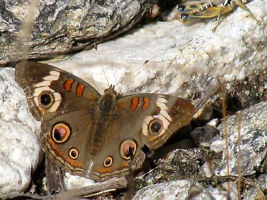 Butterfly ~ Common Buckeye by Kimberly Chadwick