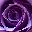 Purple Rose by Mandy Collins