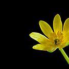 Buttercup ( Celandine ) by Jeremy Owen