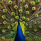 Colorful peacock by MarionsArt