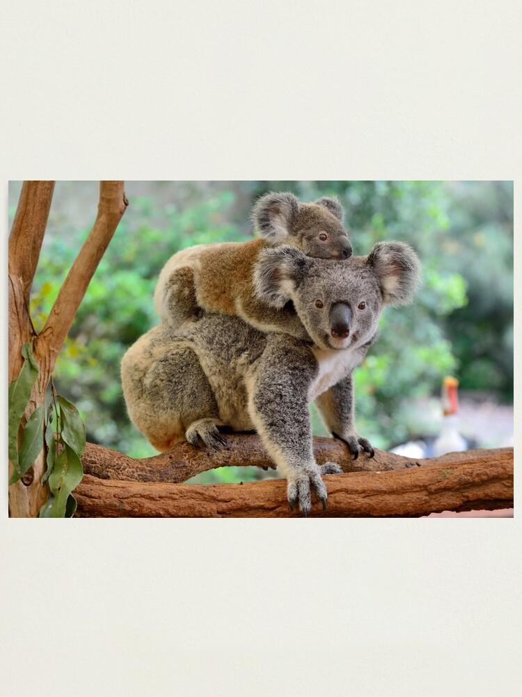 Alternate view of Koala and joey Photographic Print