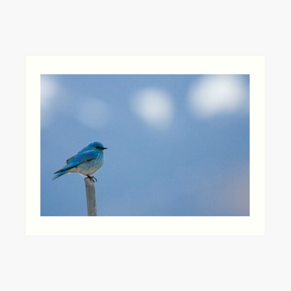 Bluebirds Return to Jackson Hole Art Print