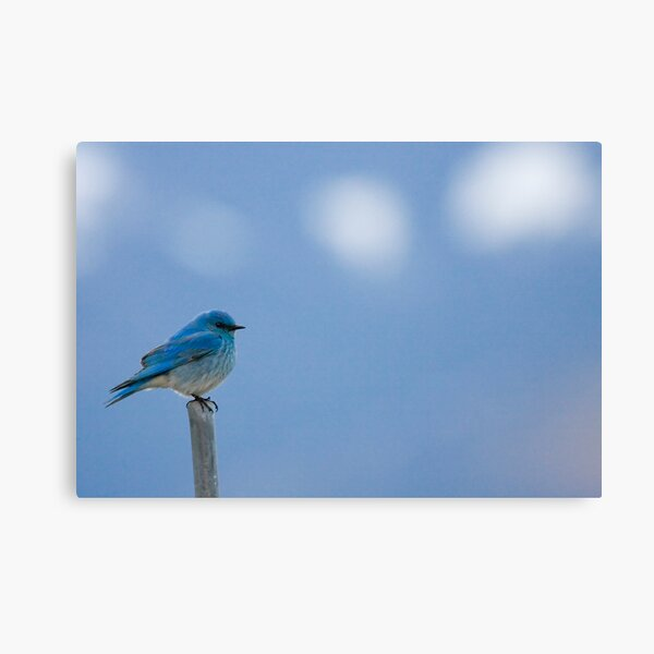 Bluebirds Return to Jackson Hole Canvas Print