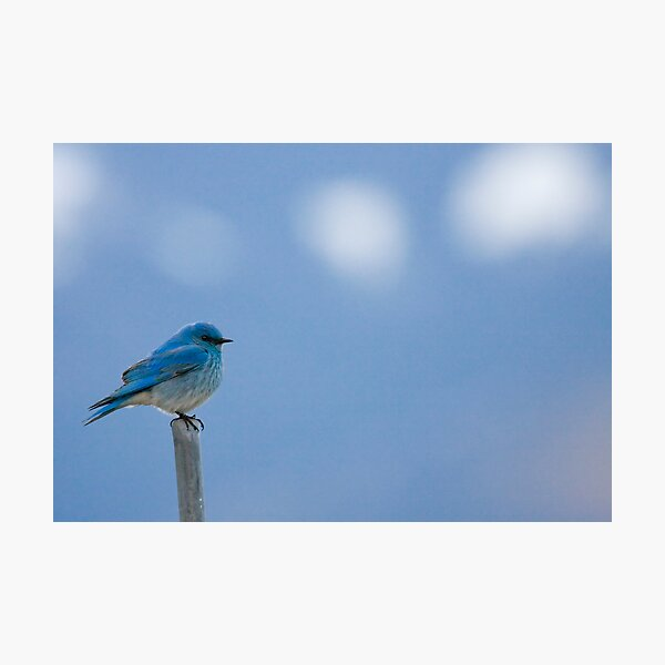 Bluebirds Return to Jackson Hole Photographic Print