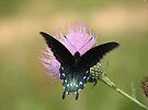Butterfly in Motion by NatureGreeting Cards ©ccwri
