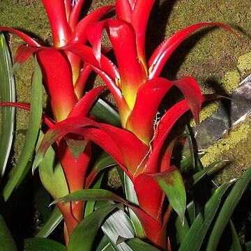 Bromeliad Flowers by TScottAdams