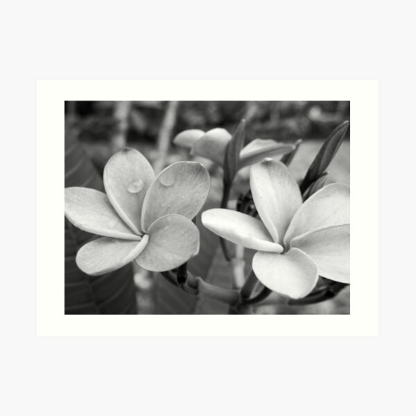 Drops on Frangipani B&W Art Print