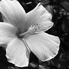 Hibiscus - B&W 2 by Amanda Diedrick