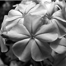 Purple Plumbago - B&W by Amanda Diedrick