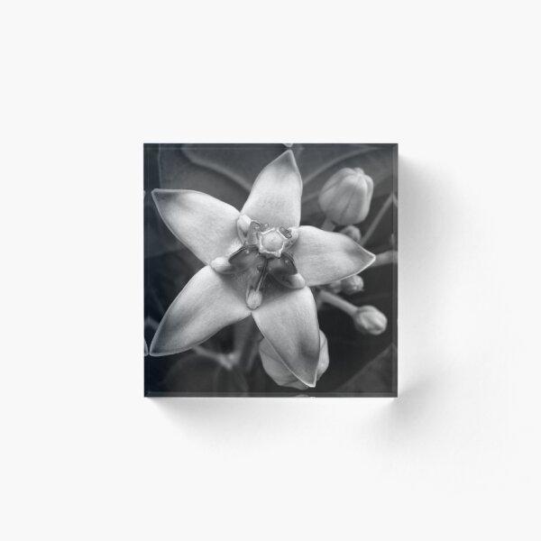 Giant Milkweed B&W Acrylic Block