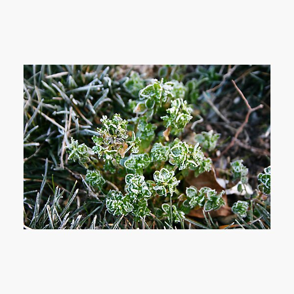 Morning Frost Photographic Print