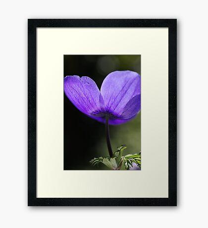 Blushing Anemone Framed Print