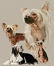 Chinese Crested and Powderpuff by BarbBarcikKeith