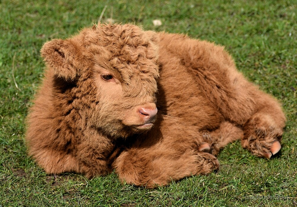 highland calf by waylander99uk