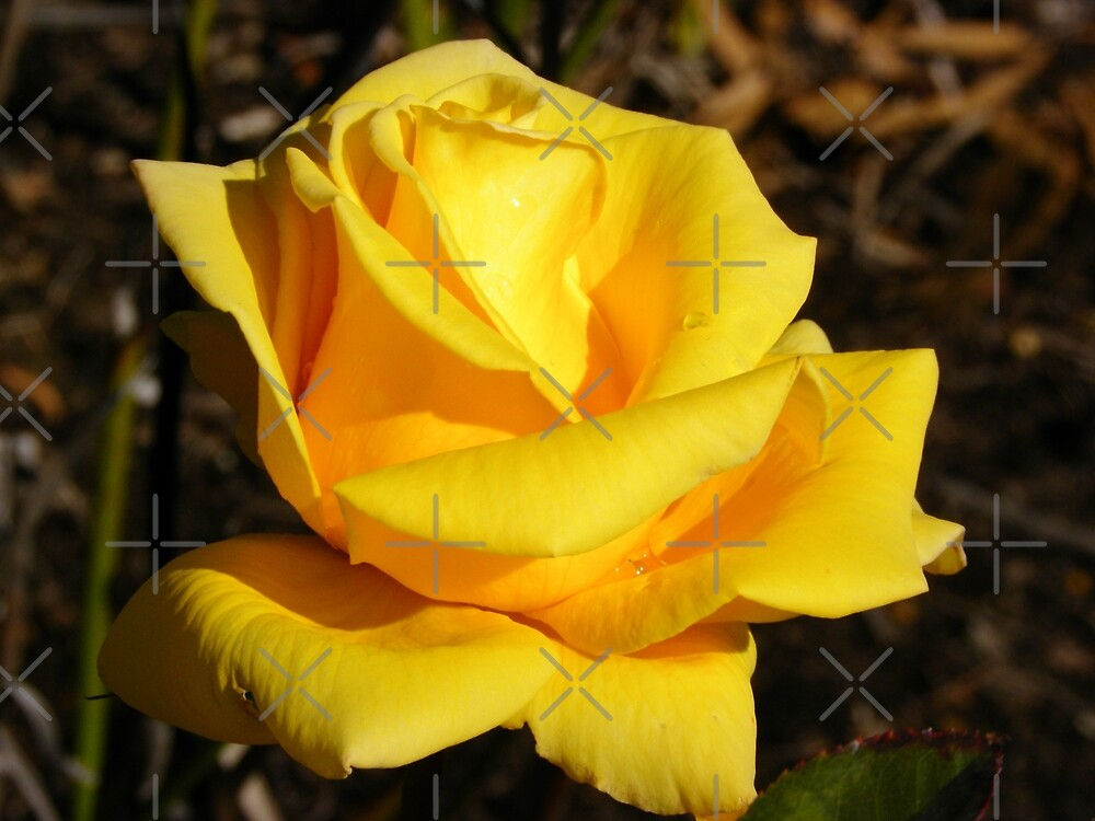 Yellow rose by TeAnne