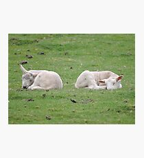 Twins: Spring Lambs Photographic Print