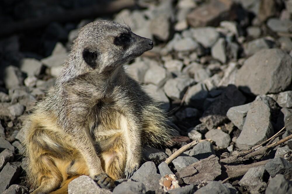 Meerkat sitting in the sun by Creaky
