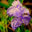 Spiderwort by DottieDees