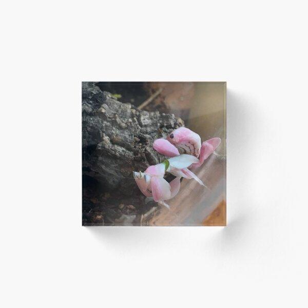Praying Mantis - Orchid Acrylic Block