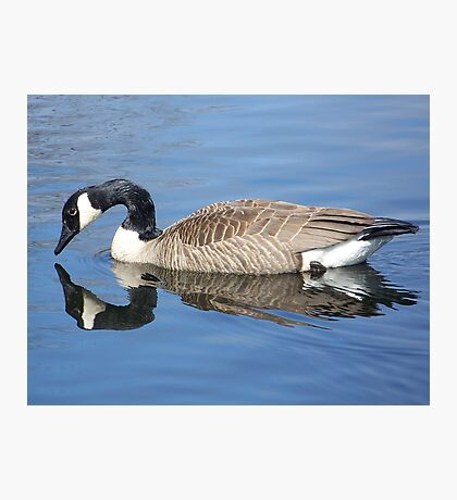 Canada Goose Reflecting. Photographic Print