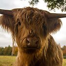 highland cattle by ashley reed
