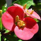 Red Flowers  by Amanda Diedrick