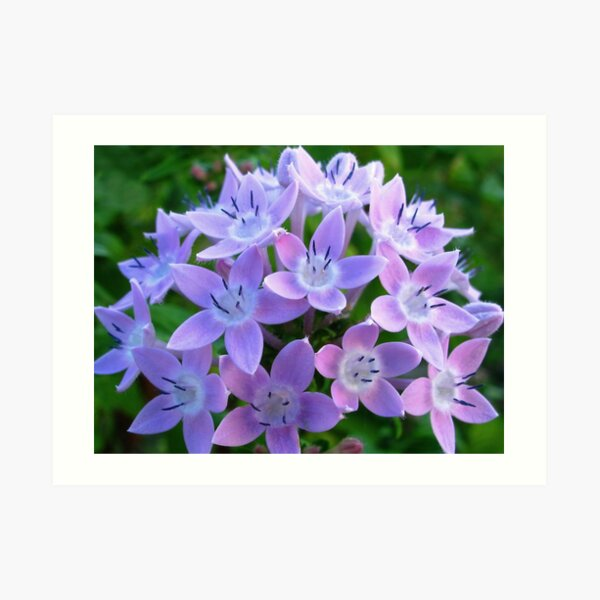 Purple Pentas  Art Print
