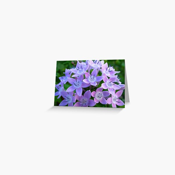 Purple Pentas  Greeting Card