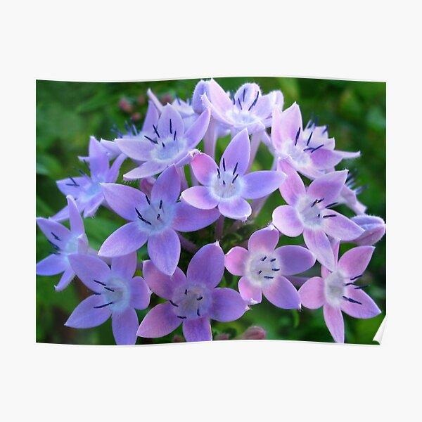 Purple Pentas  Poster
