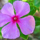 Purple Periwinkle by Amanda Diedrick