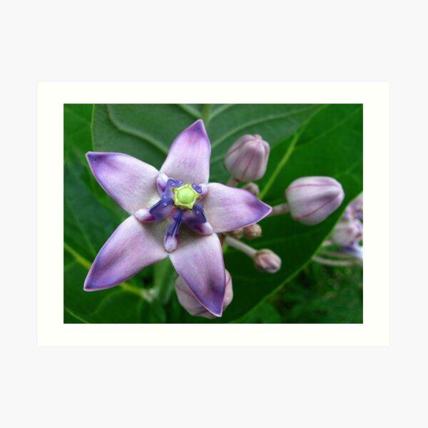 Giant Milkweed Purple Art Print