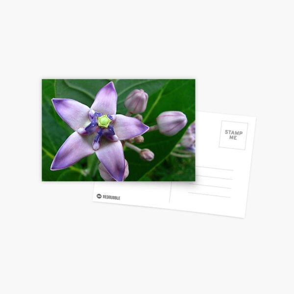 Giant Milkweed Purple Postcard
