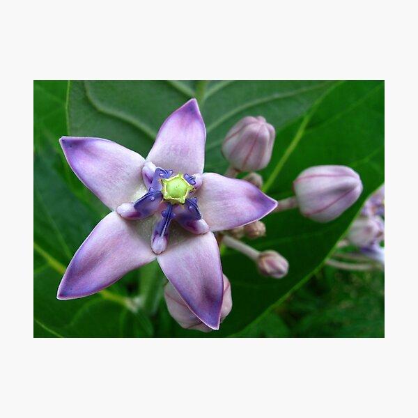 Giant Milkweed Purple Photographic Print
