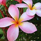 Pink Frangipani (Plumeria)  by Amanda Diedrick