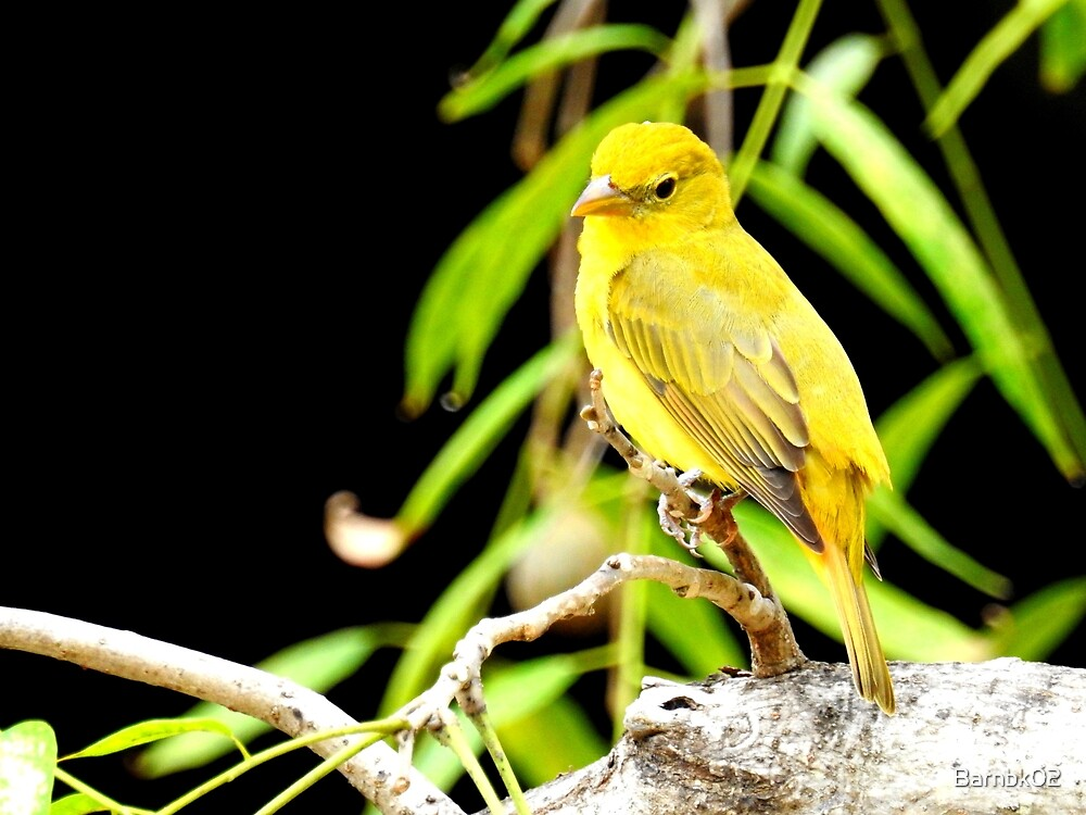 Summer Tanager Female Two by Barnbk02
