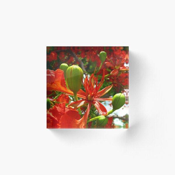 Royal Poinciana Bloom II Acrylic Block