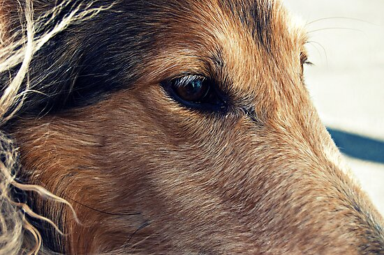 Collie by NJC Photography