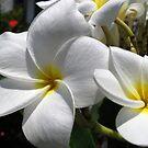 White Frangipani (Plumeria) by Amanda Diedrick