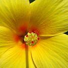 Yellow Hibiscus  by Amanda Diedrick