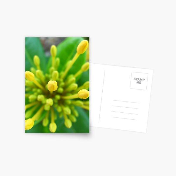 Yellow Buds Postcard