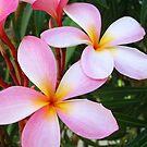 Pink Frangipani (Plumeria) II by Amanda Diedrick