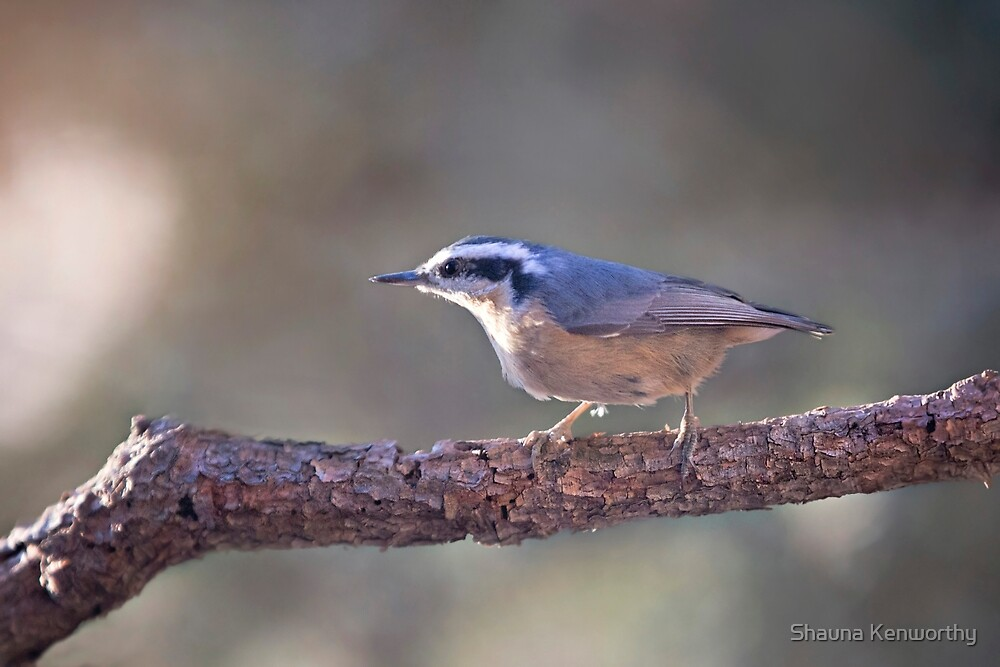 Red-breasted Nuthatch 2 by Shauna Kenworthy