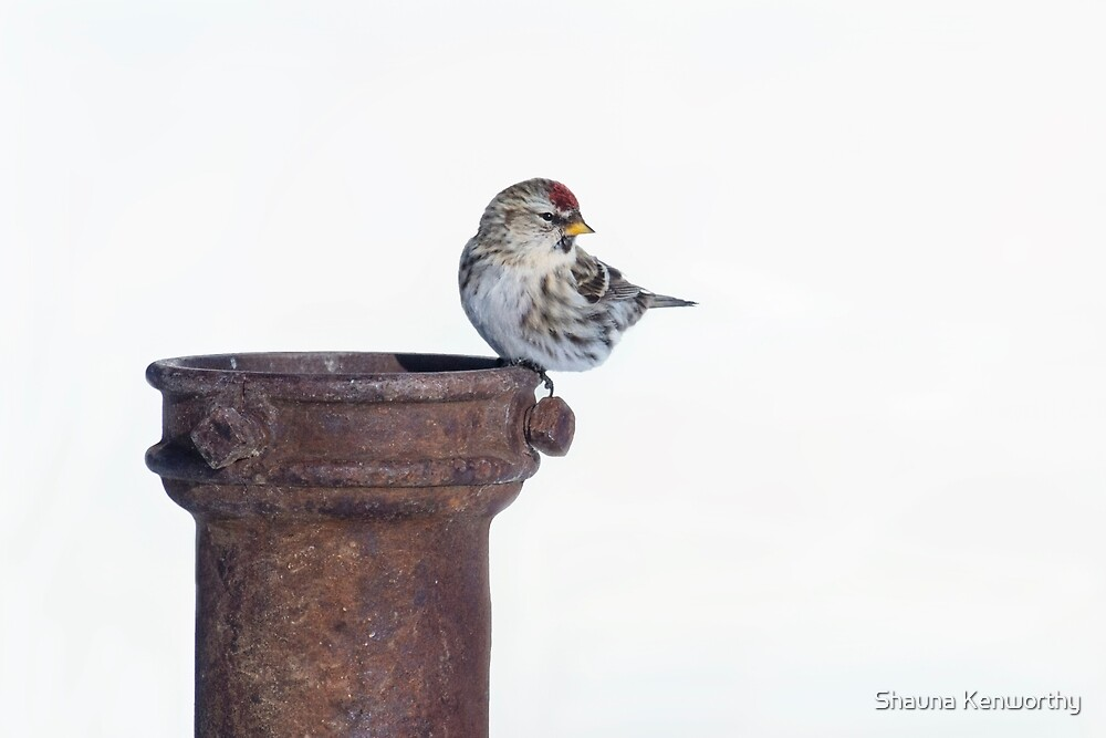 Common Redpoll 8 by Shauna Kenworthy