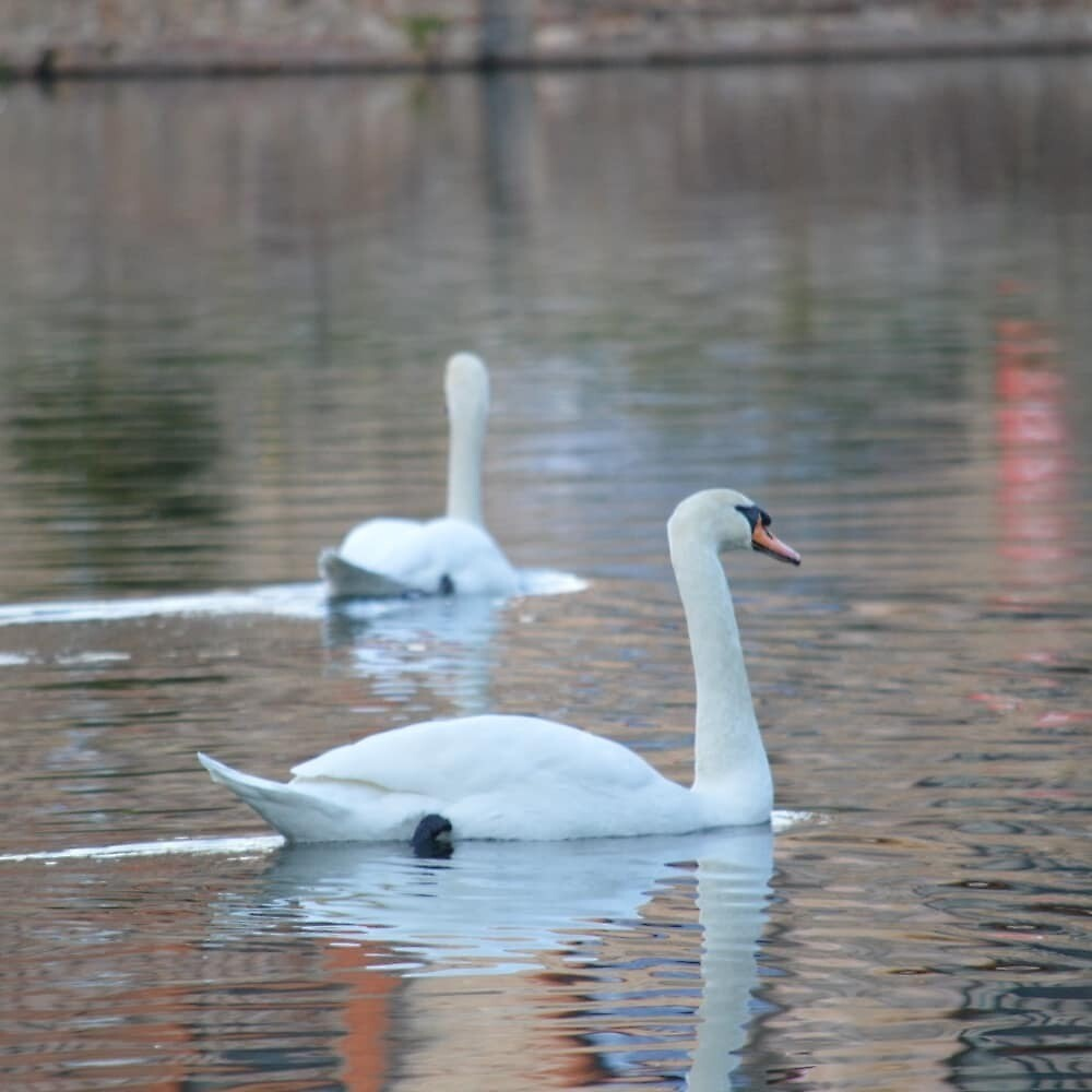 Swans by JoshPhotos