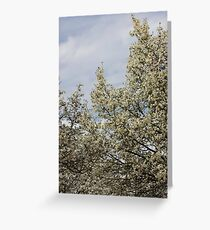 White blossoms, March sky Greeting Card